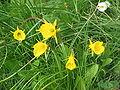 Narcissus bulbocodium clump.jpg