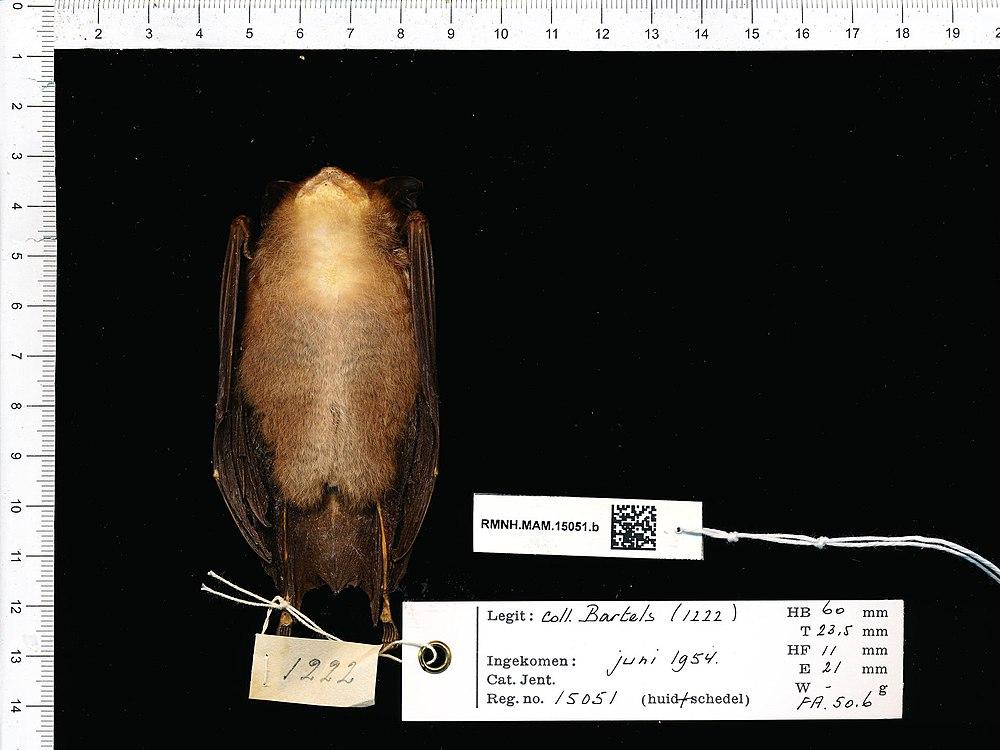 The average litter size of a Acuminate horseshoe bat is 1