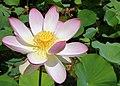 Nelumbo-nucifera-lotosblume.jpg