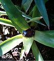Neoregelia cyanea HabitusFlower BotGardBln1006i.jpg