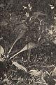 Neottianthe cucullata, Puszcza Augustowska, przed 1956.jpg