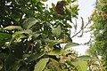 Nephelium lappaceum Rambutan at Thattekkadu (3).jpg