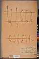Neuchâtel Herbarium - Alyssum alyssoides - NEU000100954.jpg