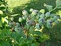 Nezreli plodovi borovnice Djuk (1).JPG