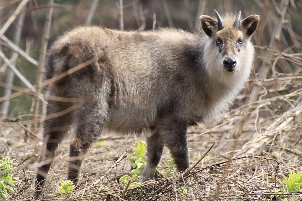 The average litter size of a Japanese serow is 1