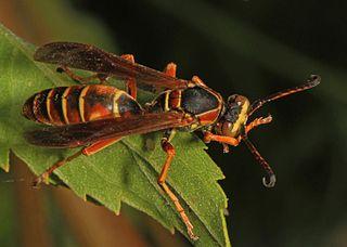 Bộ sưu tập côn trùng 2 - Page 12 320px-Northern_Paper_Wasp_-_Polistes_fuscatus%2C_Meadowood_Farm_SRMA%2C_Mason_Neck%2C_Virginia_-_30947768803