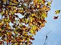 Northern Red Oak (30905871611).jpg
