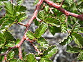 Nothofagus pumilio-leaves.JPG