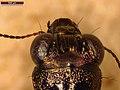 Notiophilus biguttatus (26546247437).jpg