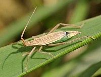 Notostira elongata female01.jpg