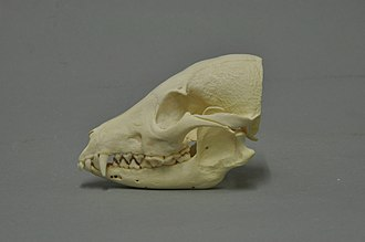 Raccoon dog - Raccoon dog skull