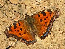 Nymphalidae - Nymphalis polychloros.JPG