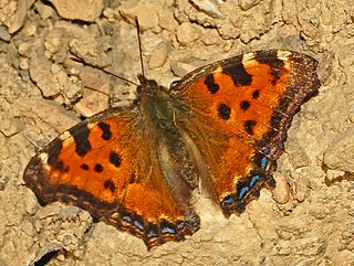 Large tortoiseshell species of butterfly