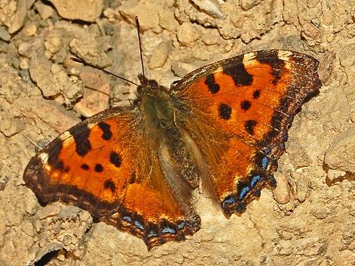 Nymphalidae - Nymphalis polychloros