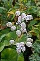 Oberna behen (Caryophyllaceae) (33002499690).jpg