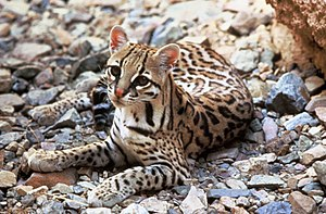 Crepuscular - Ocelots are active at night, especially during dawn and dusk.