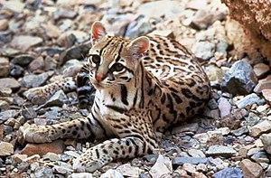Ozelot (Leopardus pardalis)