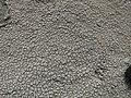Ochrolechia parella (L.) A. Massal 226288.jpg