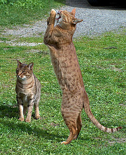Ocicat-playing.jpg