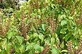 Ocimum gratissimum - Mounts Botanical Garden - Palm Beach County, Florida - DSC03706.jpg