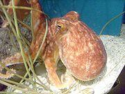 An octopus crawling