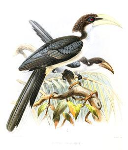 OcycerosGingalensisLegge