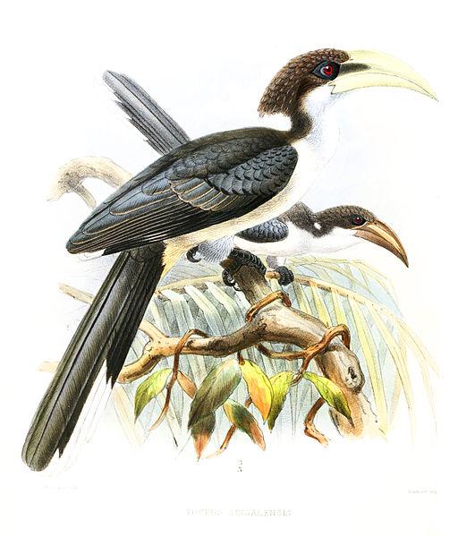 File:OcycerosGingalensisLegge.jpg
