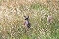 Odocoileus hemionus columbianus (black-tailed deer) (Point Bonita, Marin Peninsula, California, USA) (32387956767).jpg