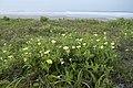 Oenothera laciniata 05.jpg