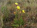 Oenothera stricta plant5 (15681922622).jpg