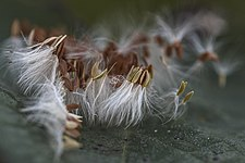 Officinal dandelion seeds.jpg