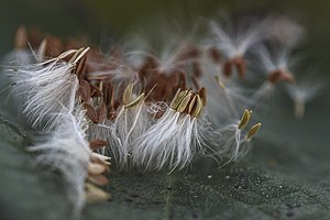 Immagine Officinal dandelion seeds.jpg.