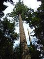 Old Pinus strobus.jpg