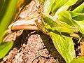 Omocestus viridulus grasshopper enjoying the nature.jpg