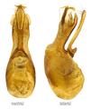 Ontholestes tessellatus (Geoffroy, 1785) Genital.png