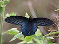 Open wing position of Papilio alcmenor Felder & Felder, 1864 – Redbreast 2.jpg