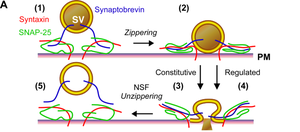SNARE (protein) -  This figure provides a simple overview of the interaction of SNARE proteins with vesicles during exocytosis.  Shows SNARE complex assembly, zippering, and disassembly.