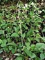 Ophrys scolopax 00-05.jpg