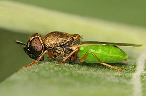 Description de l'image Oplodontha viridula.jpg.