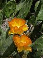 Opuntia elata (flowers).jpg