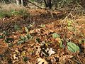 Opuntia humifusa - Michigan (wild).jpg