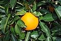Orange on the tree.jpg