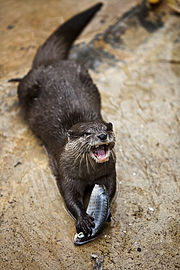 Oriental small-clawed otter - Adelaide Zoo