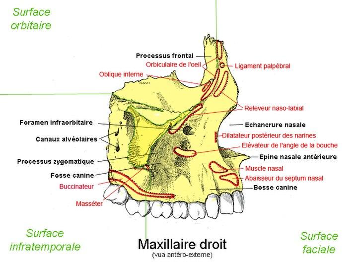 Os maxillaire droit.jpg