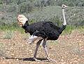 Ostrich male RWD.jpg