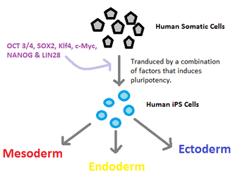 Induced stem cells - Human somatic cells are made pluripotent by transducing them with factors that induces pluripotency (OCT 3/4, SOX2, Klf4, c-Myc, NANOG and LIN28). This results in the production of IPS cells, which can differentiate into any cells of the three embryonic germ layers (Mesoderm, Endoderm, Ectoderm).