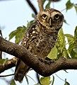 Owl@Pench.jpg