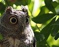 Owlie McOwlface Profile (45042437481).jpg