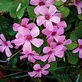Oxalis articulata (pink woodsorrel 02).jpg