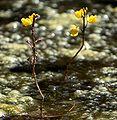 PNBT Utricularia vulgaris kwiaty 03.07.10 p.jpg